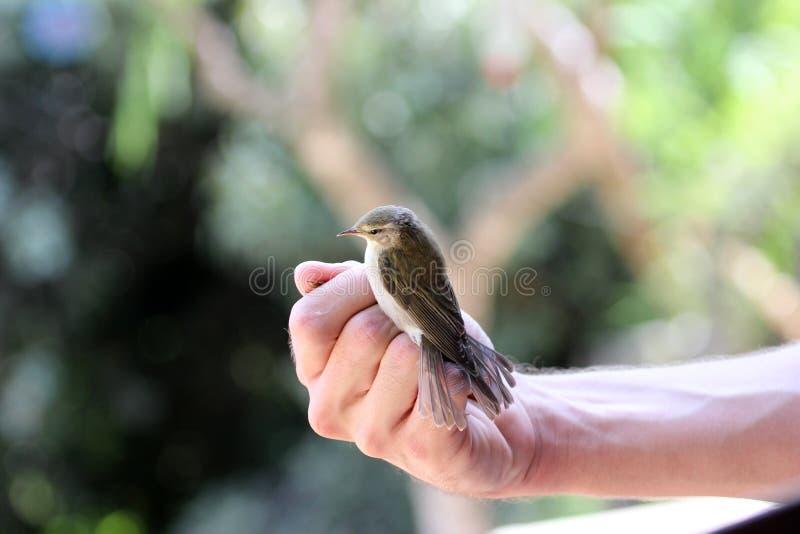 Un type tenant un oiseau avant la sonnerie d'oiseau image libre de droits