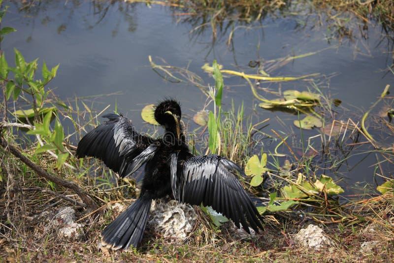 Un uccello acquatico nero sta cominciando volare immagine stock