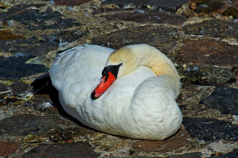 Un uccello bianco del cigno che si trova su una terra pavimentata di pietra fotografie stock