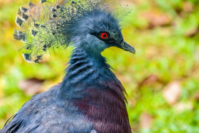 Un uccello blu con l'occhi rossi immagine stock libera da diritti