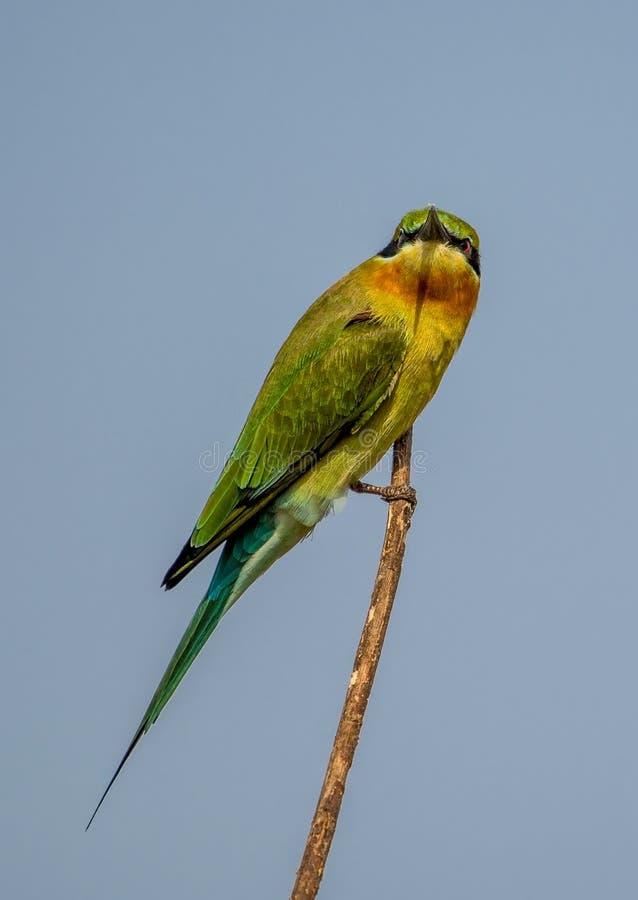 Un uccello blu del mangiatore di ape della coda fotografia stock libera da diritti