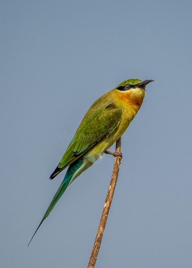 Un uccello blu del mangiatore di ape della coda fotografia stock