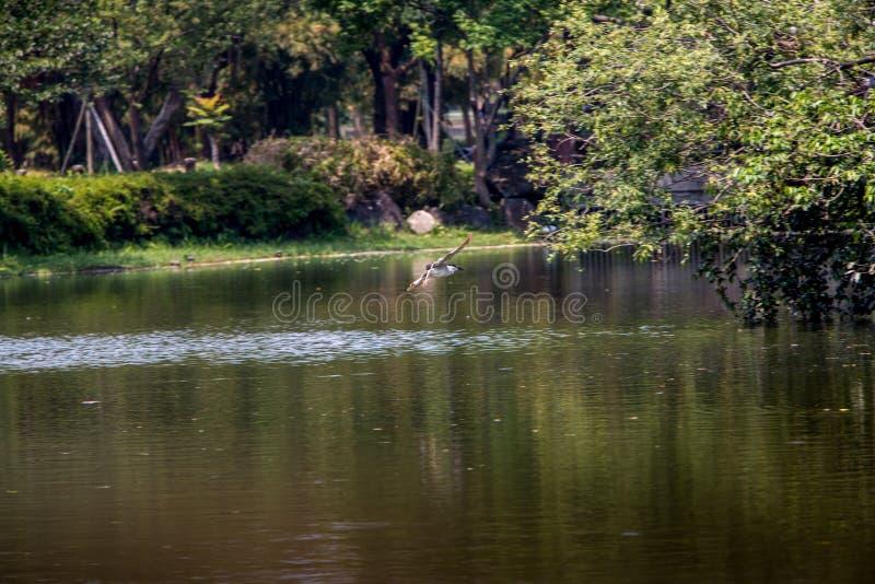 Un uccello del nycticorax nycticorax che sorvola l'acqua del lago al parco di Taiwan immagine stock