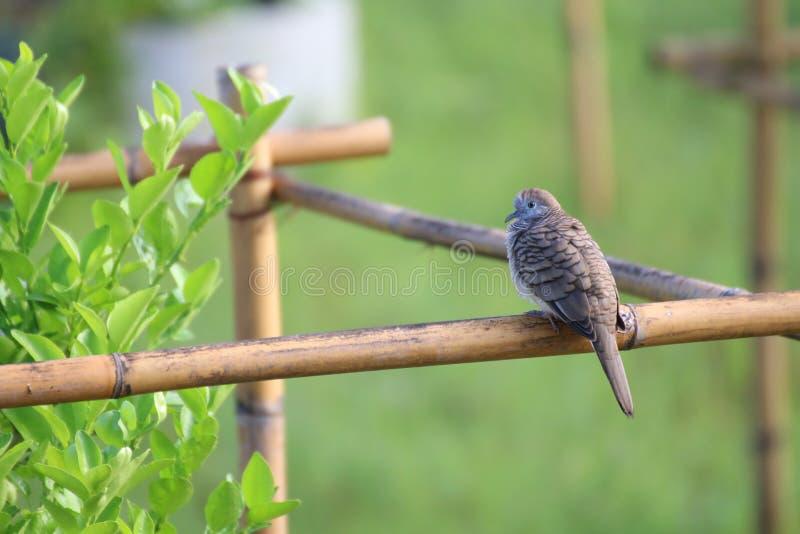 Un uccello della colomba si è appollaiato sul ramo dell'albero selvaggio in giardino immagine stock