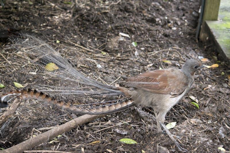 Un uccello della lira immagine stock libera da diritti