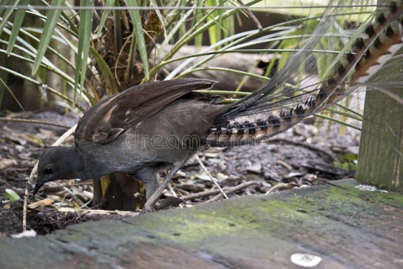 Un uccello della lira fotografie stock libere da diritti