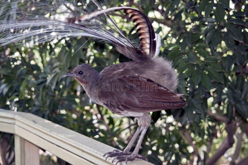 Un uccello della lira fotografie stock