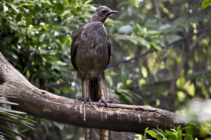 Un uccello della lira su un ramo fotografia stock libera da diritti