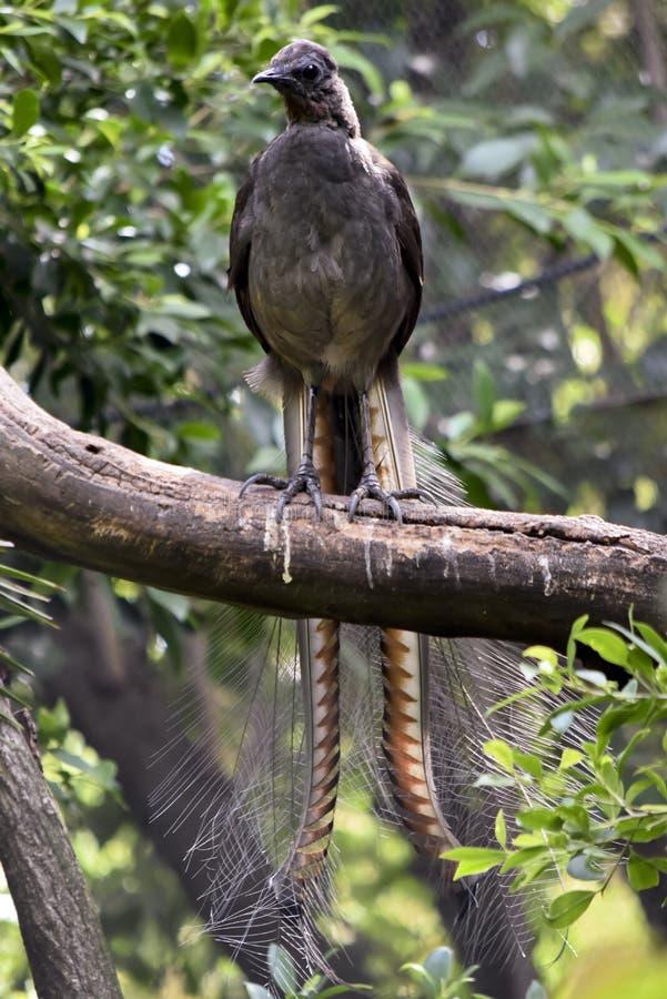 Un uccello della lira su un ramo immagine stock libera da diritti
