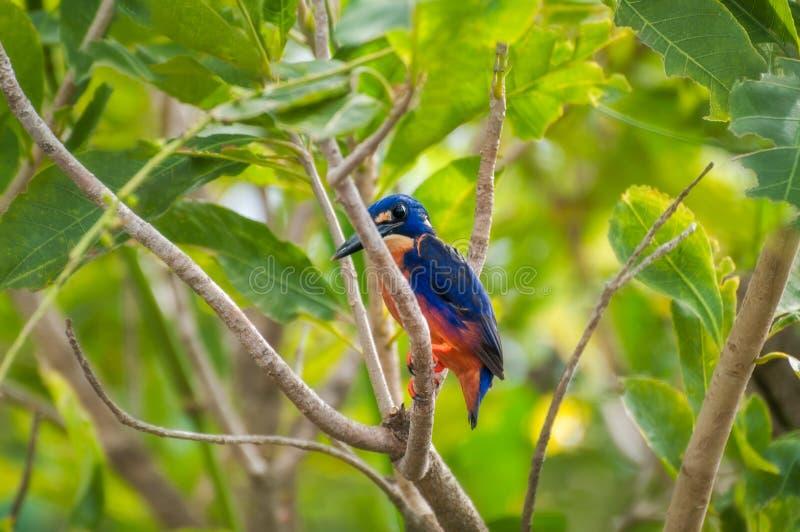 Un uccello di Azure Kingfisher su un ramo di albero in Corroboree Billabong, NT, Australia fotografia stock libera da diritti