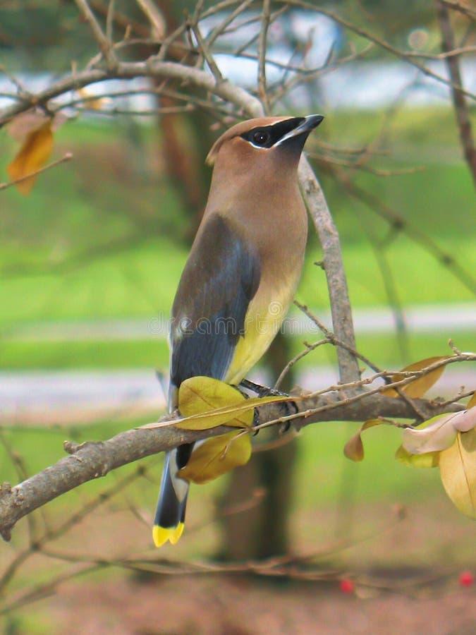 Un uccello di Cedar Waxwing, appollaiato su un ramo fotografia stock