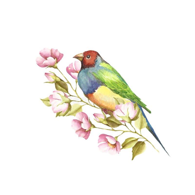 Un uccello e un ramoscello Fringillide di Gouldian Illustrazione dell'acquerello illustrazione di stock