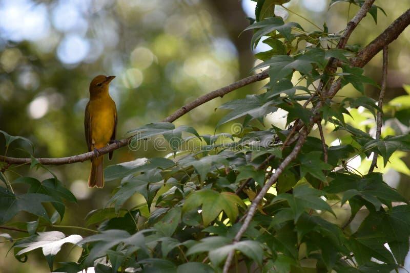 Un uccello femminile giallo del Tanager di estate immagine stock