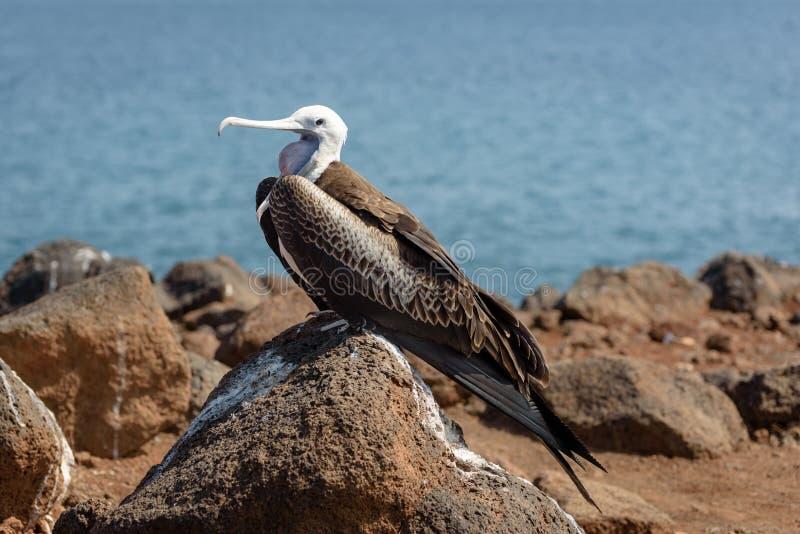 Un uccello giovanile del fregate su Seymour del nord, isole Galapagos, Ecuador, Sudamerica fotografia stock