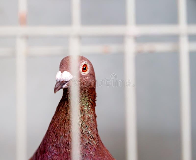 Un uccello ingabbiato nella concorrenza del pollame ad una manifestazione agricola fotografia stock