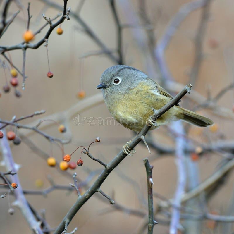 Un uccello migratore grasso immagini stock