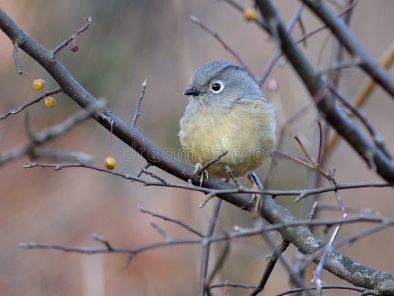 Un uccello migratore grasso immagini stock libere da diritti