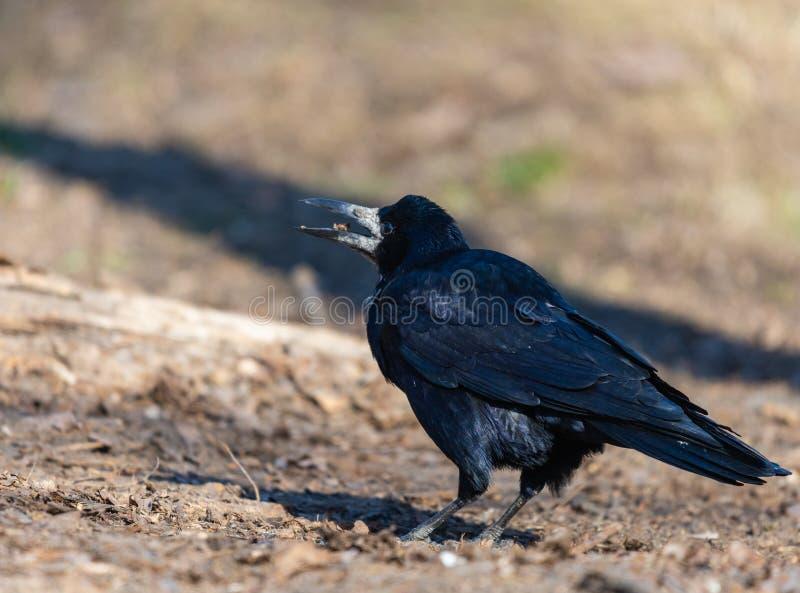 Un uccello nero del corvo e guarda avanti un giorno soleggiato luminoso Le piume nere luccicano nei colori differenti immagini stock libere da diritti