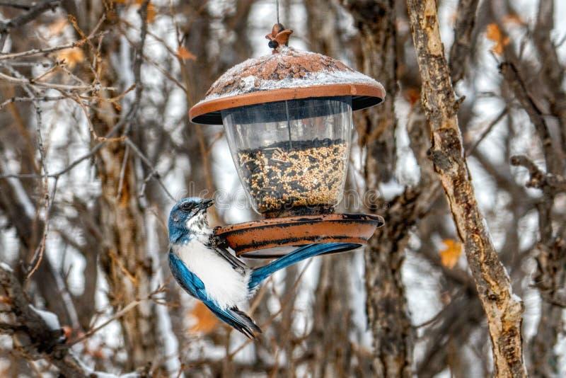 Un uccello risoluto, uccello vede e un alimentatore - il legno Jay Persistence fotografia stock libera da diritti