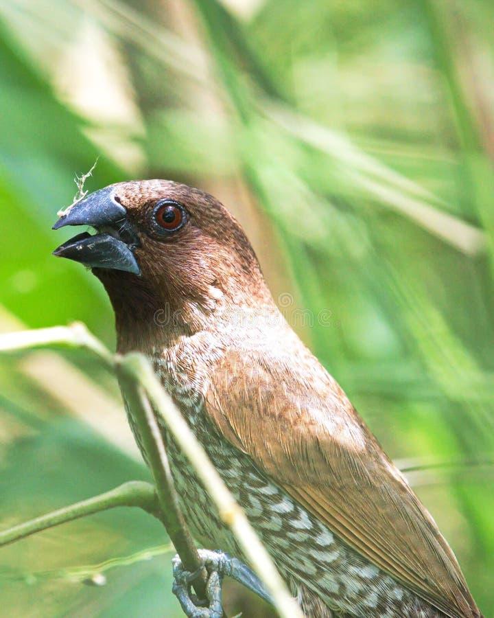 Un uccello squamoso-breasted di Munia esige ai suoi amici da un ramoscello in Tailandia fotografia stock libera da diritti