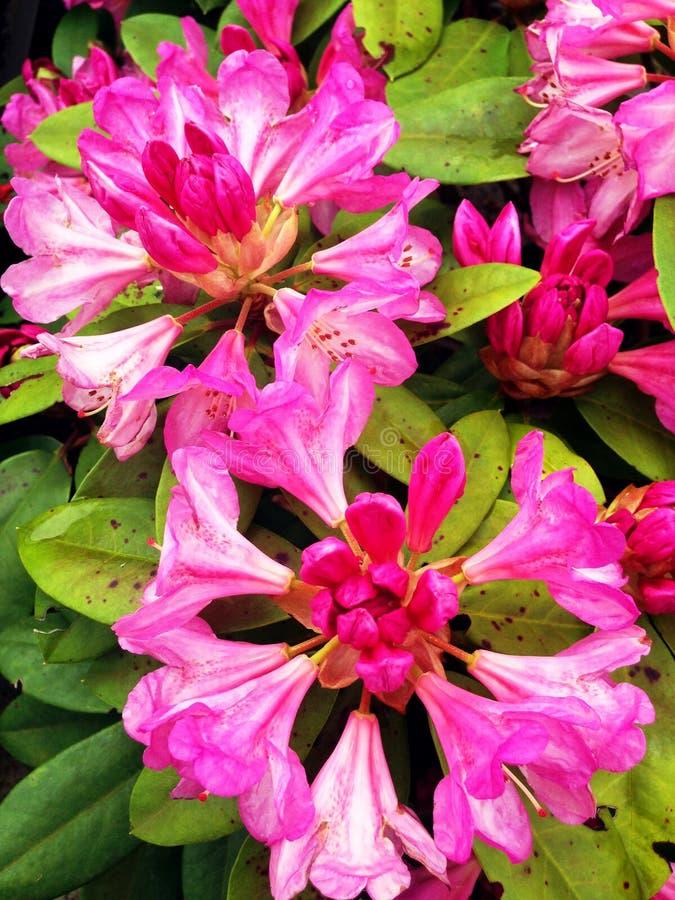 Un umbel rose des fleurs d'azalée images libres de droits