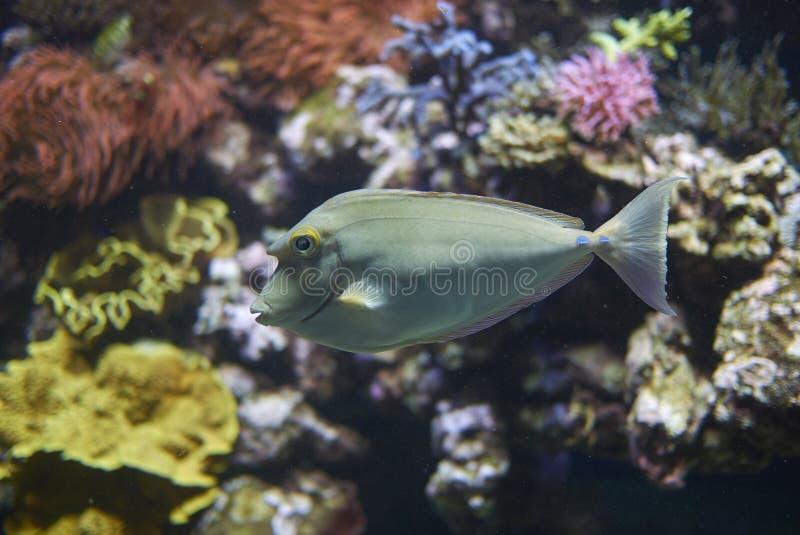 Un unicornfish de bluespine photos libres de droits