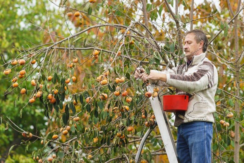 Un uomo anziano si riunisce dall'albero dei cachi maturi fotografia stock
