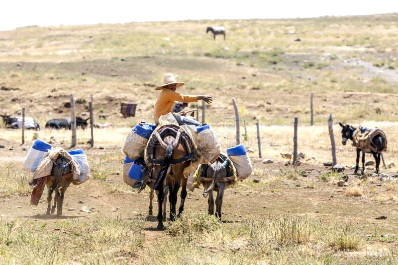 Un uomo con il suoi cavallo ed asini nelle montagne del Marocco fotografie stock libere da diritti
