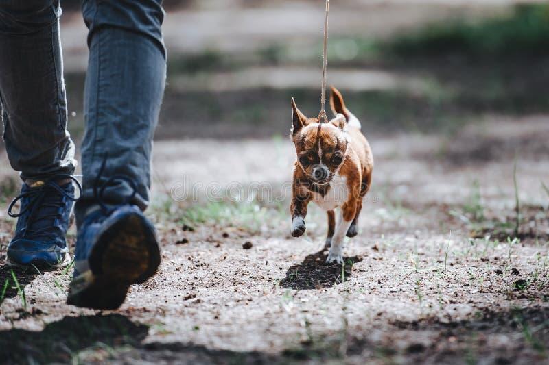 Un uomo conduce un piccolo cane della razza della chihuahua su un guinzaglio Il cane va vicino alle gambe fotografie stock libere da diritti