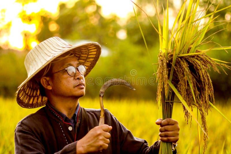 Un uomo ed il suo riso organico in Tailandia immagine stock libera da diritti