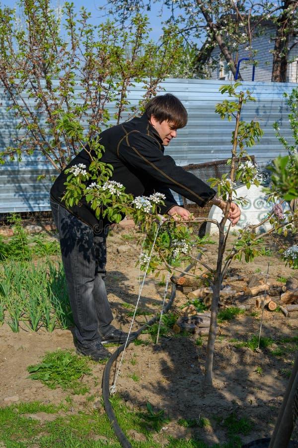 Un uomo rimuove i rami asciutti da un albero da frutto di fioritura al loro cottage dell'estate fotografie stock libere da diritti