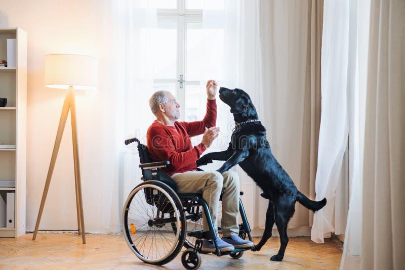Un uomo senior disabile in sedia a rotelle all'interno che gioca con un cane di animale domestico a casa immagine stock