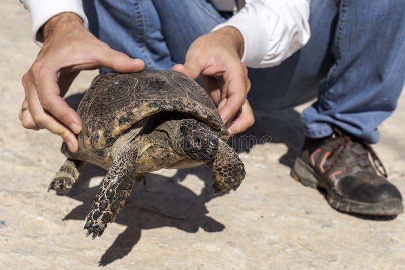 Un uomo sta tenendo una tartaruga in sue mani immagini stock