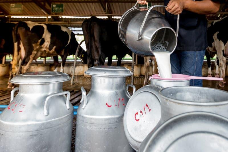 Un uomo sta versando il latte al serbatoio da latte in un'azienda lattiera fotografia stock libera da diritti