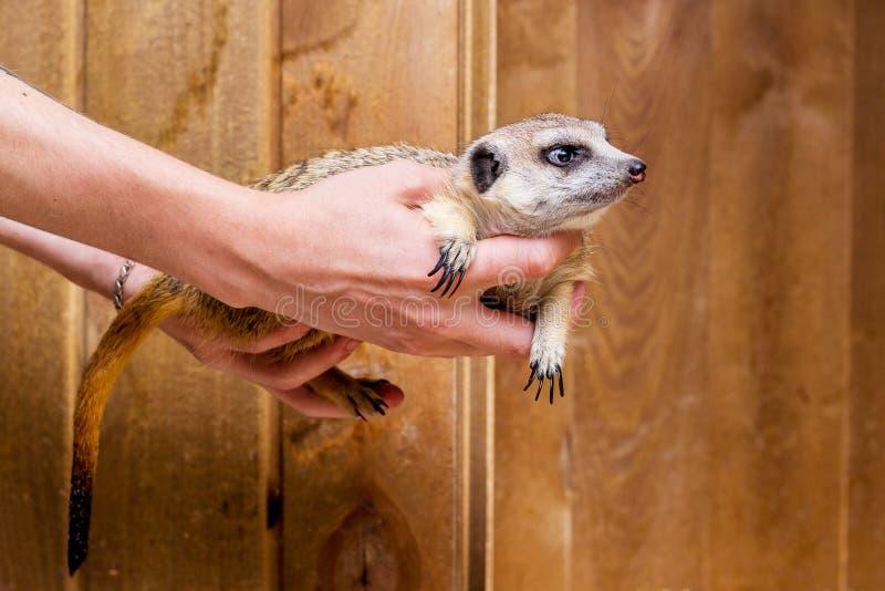 Un uomo tiene nelle mani di un meerkat_ immagine stock libera da diritti
