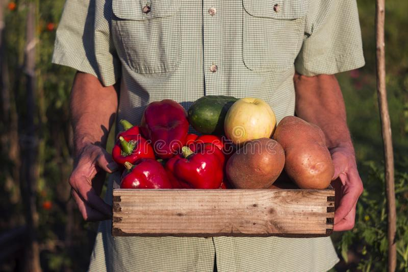 Un uomo in una camicia di plaid tiene una scatola di legno con le verdure: peperone, patate, cetriolo, mela Raccogliendo, orto immagine stock libera da diritti