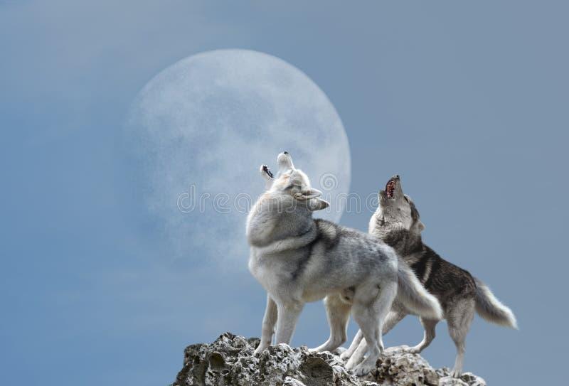 Un urlo di due lupi alla luna fotografia stock
