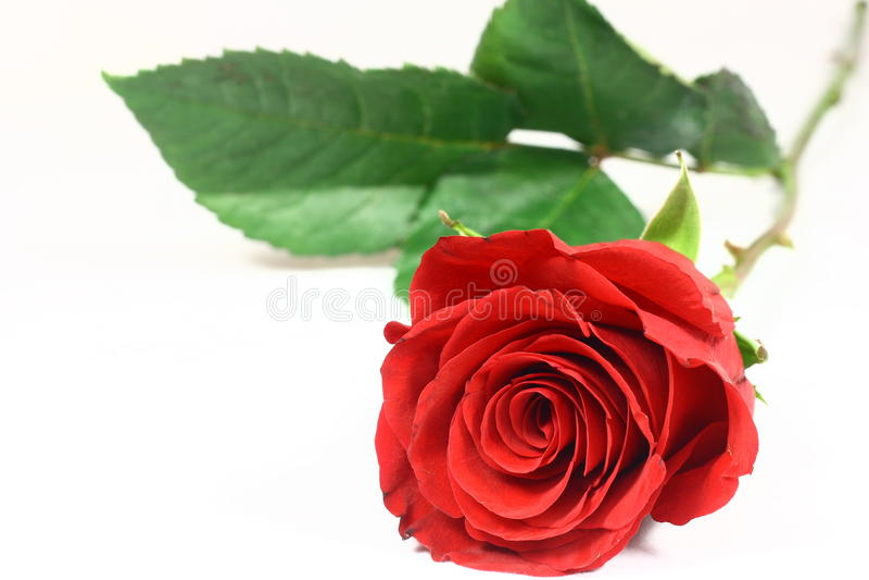 Un vástago largo Rose imagenes de archivo