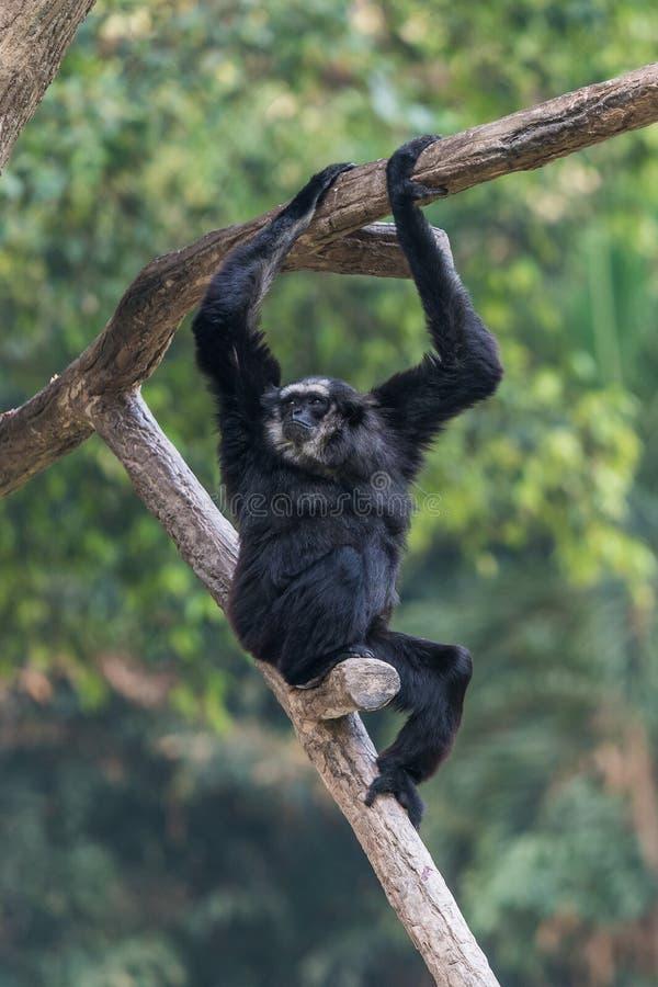 Un varón Pileated Gibbon tiene una piel puramente negra imágenes de archivo libres de regalías