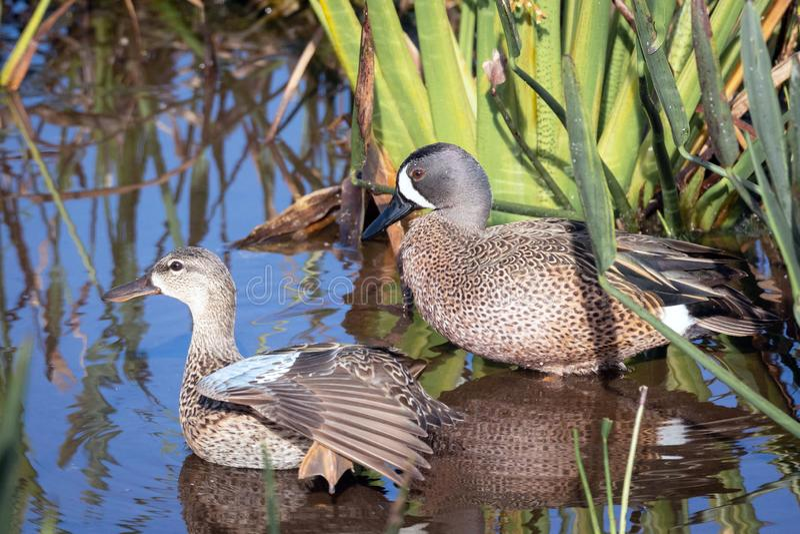 Un varón y un par femenino de patos del trullo Azul-Ir volando fotografía de archivo