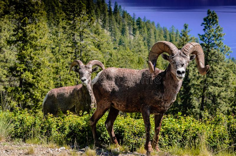 Un varón y una oveja de montaña femenina sobre la mirada de un lago en el fondo descubren agresivamente sus dientes como adverten foto de archivo libre de regalías