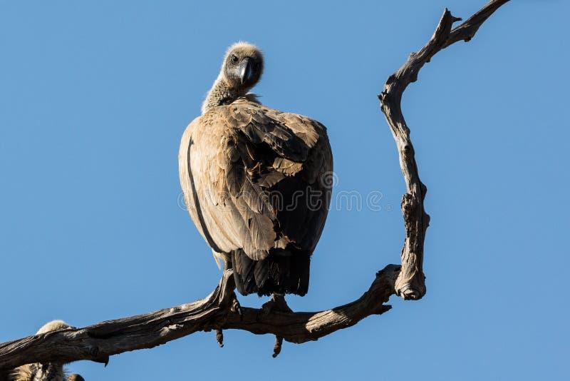 Un vautour est sur une branche tordue d'un arbre