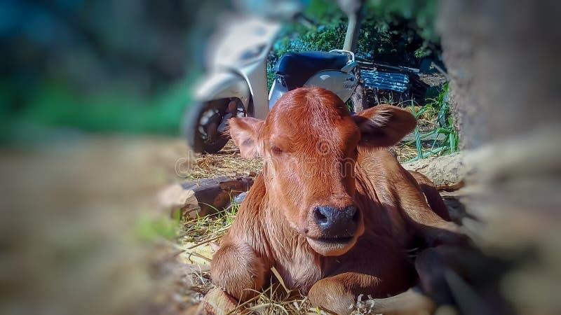 Un veau mignon et beau image stock