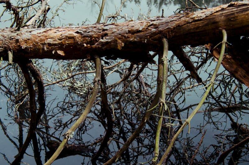 Un vecchio albero caduto con i rami sottili di muschio invaso immagine stock libera da diritti