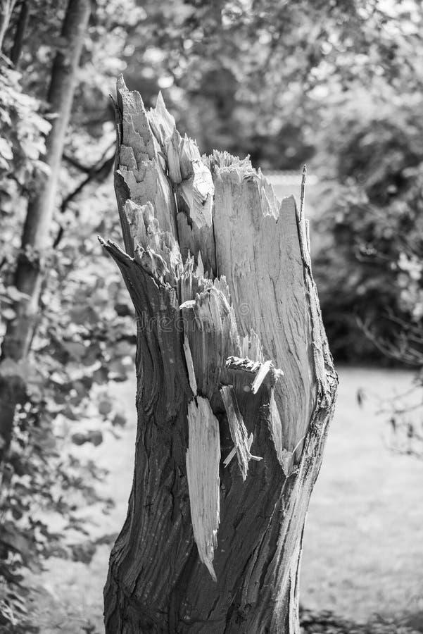 Un vecchio albero che è stato danneggiato in una tempesta fotografie stock