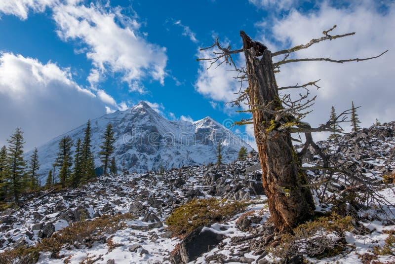 Un vecchio albero da un lato di una montagna sulla traccia superiore del lago Kananaskis in Peter Lougheed Provincial Park, Alber fotografia stock