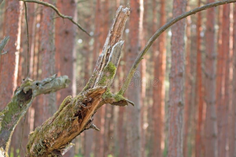 Un vecchio, albero decomposto fotografia stock