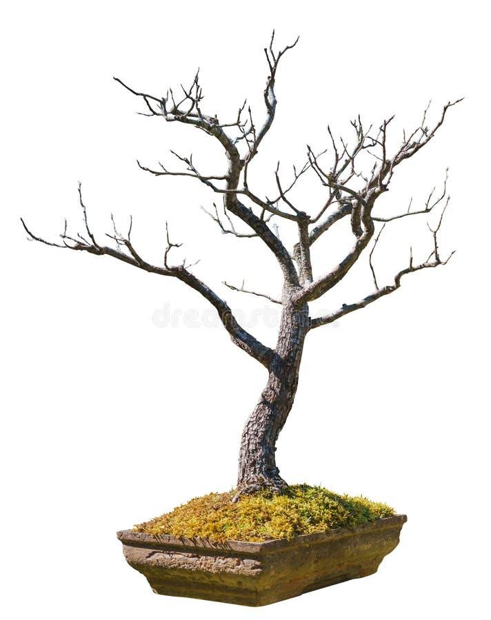 Un vecchio albero dei bonsai in un vaso di terracotta isolato su un fondo bianco immagine stock