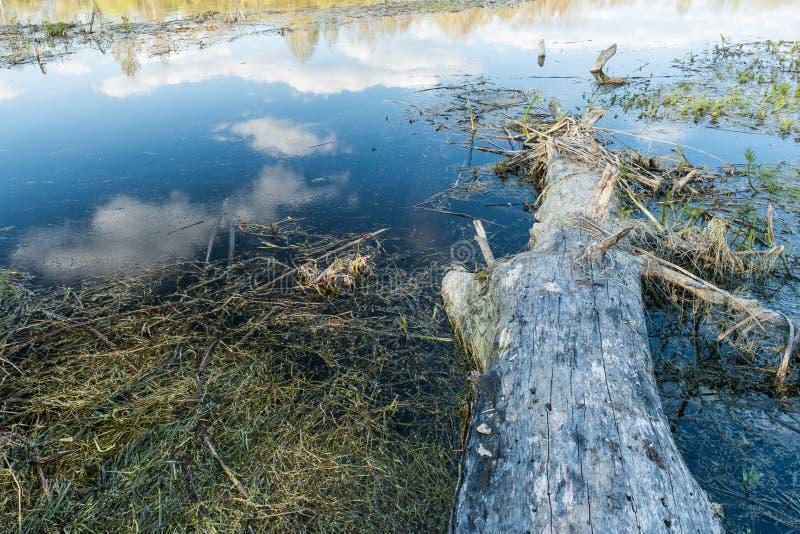 Un vecchio albero senza corteccia sta dalla riva al lago, in acqua riflette un cielo blu con le nuvole e una linea di orizzonte c immagine stock