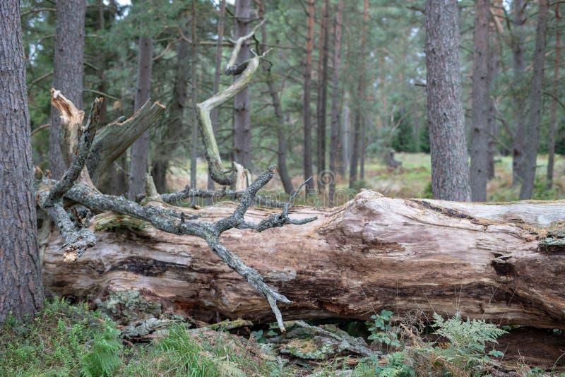 Un vecchio tronco asciutto di un albero caduto Una quercia appassita che si trova nella u fotografie stock libere da diritti